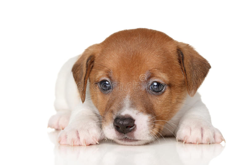 Close-up do filhote de cachorro do terrier de Jack Russell foto de stock royalty free
