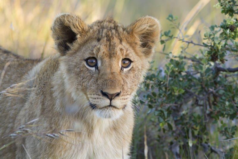 Close-up do filhote de leão foto de stock royalty free