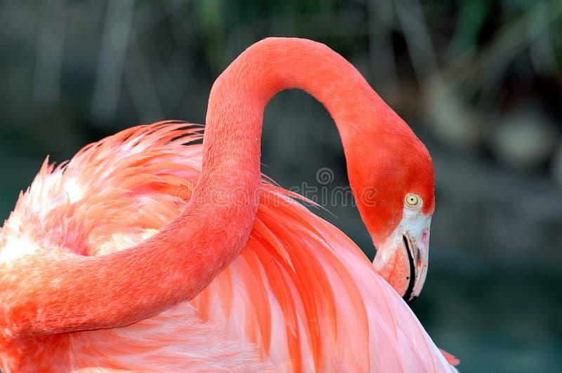 Close up do flamingo cor-de-rosa foto de stock royalty free