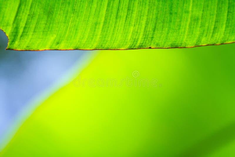 Close up do foco da textura da folha da banana, o verde e o fresco, o seletivo imagem de stock royalty free