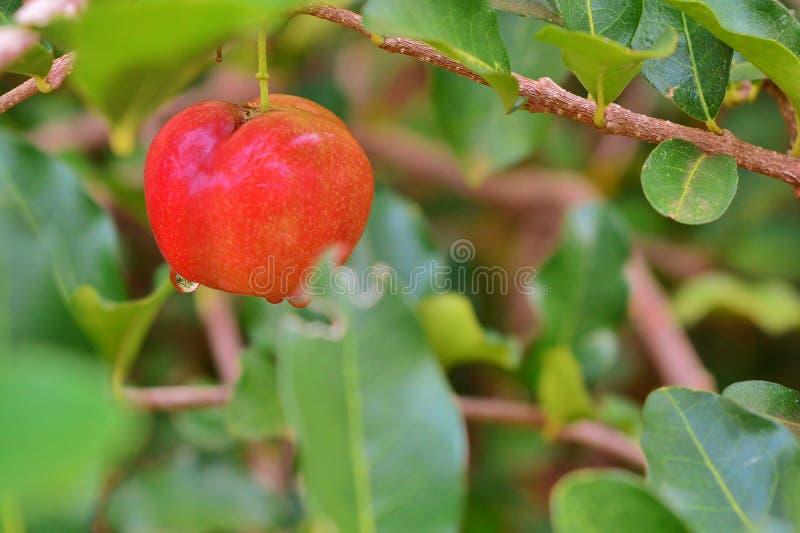 Close-up do fruto do Acerola foto de stock