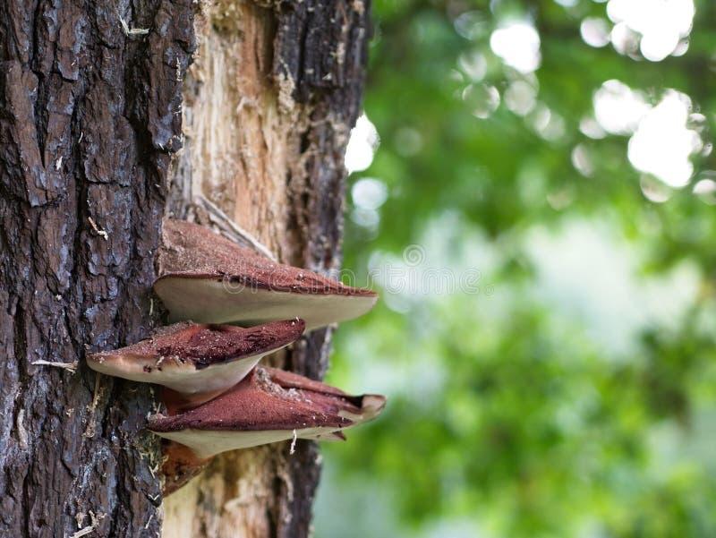 Close up do fungo de bife imagem de stock
