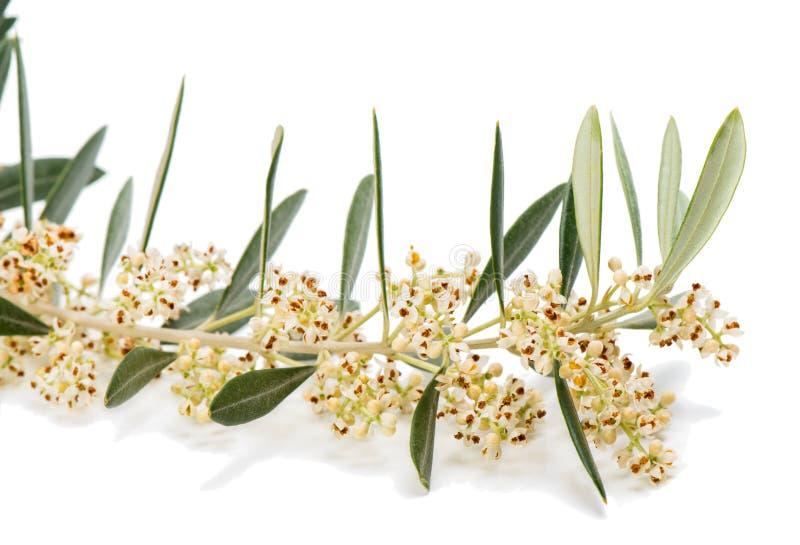 Close up do galho verde-oliva de florescência foto de stock