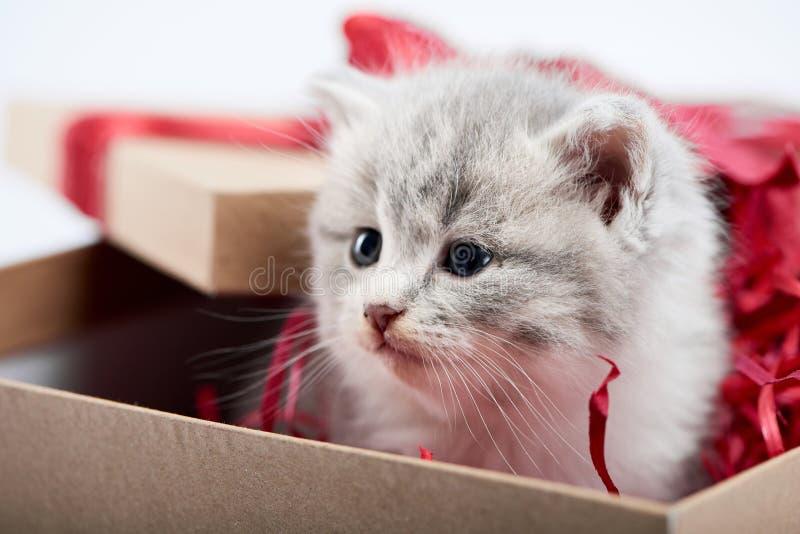 Close up do gatinho cinzento macio bonito pequeno que senta-se na caixa borthday decorada do cartão como o presente para a ocasiã foto de stock