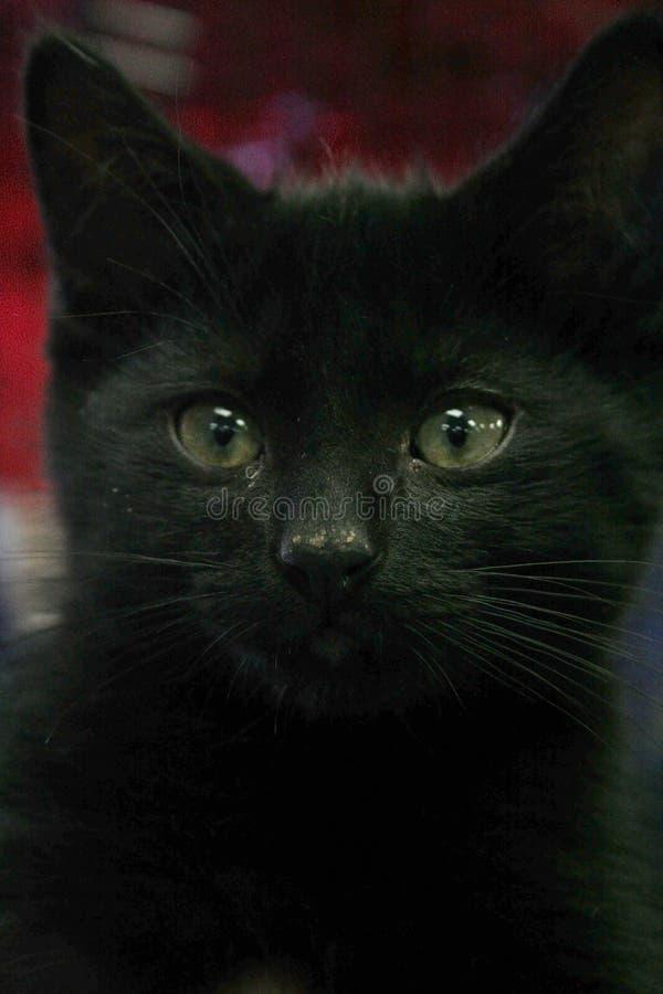 Close up do gatinho preto bonito foto de stock royalty free