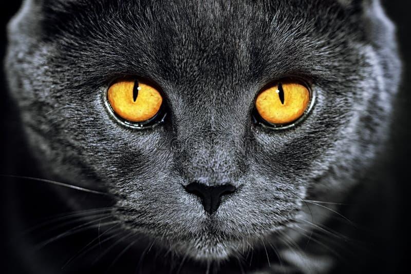 Close up do gato britânico cinzento lindo luxuoso bonito com vibra imagens de stock royalty free