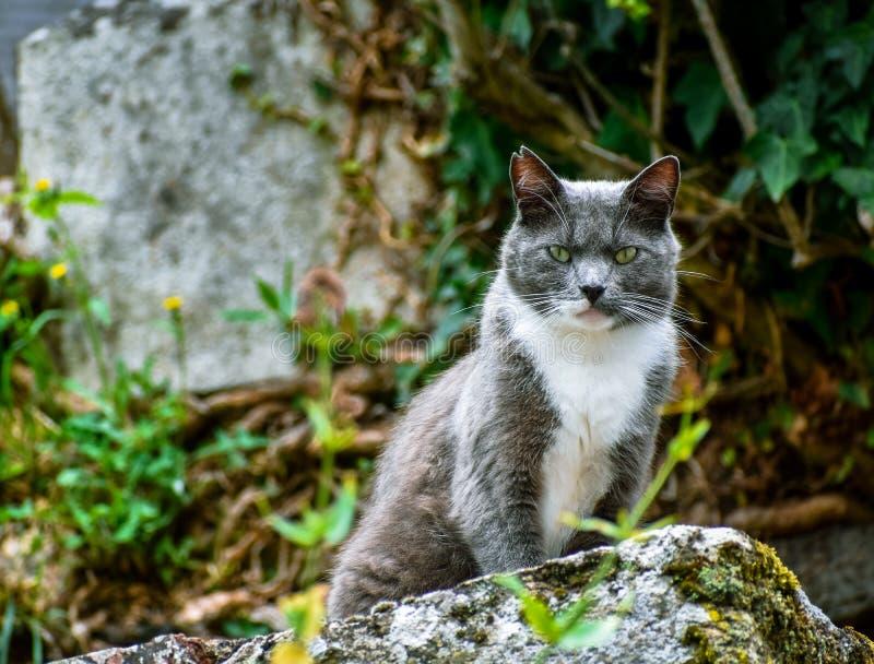 Close-up do gato que levanta em uma pedra, olhando desafiante na câmera fotografia de stock