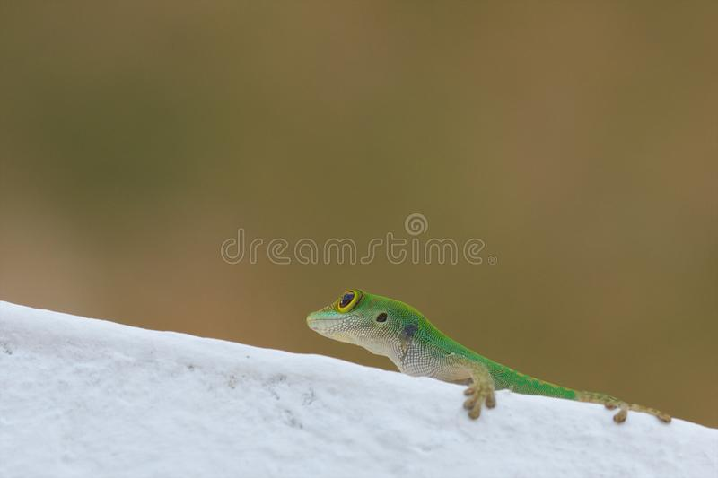 Close up do Gecko lateral foto de stock royalty free