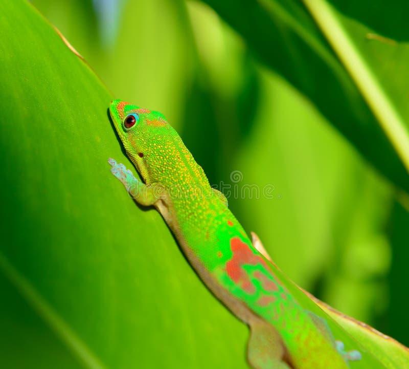 Close up do geco do dia da poeira de ouro em uma folha em Havaí imagem de stock royalty free