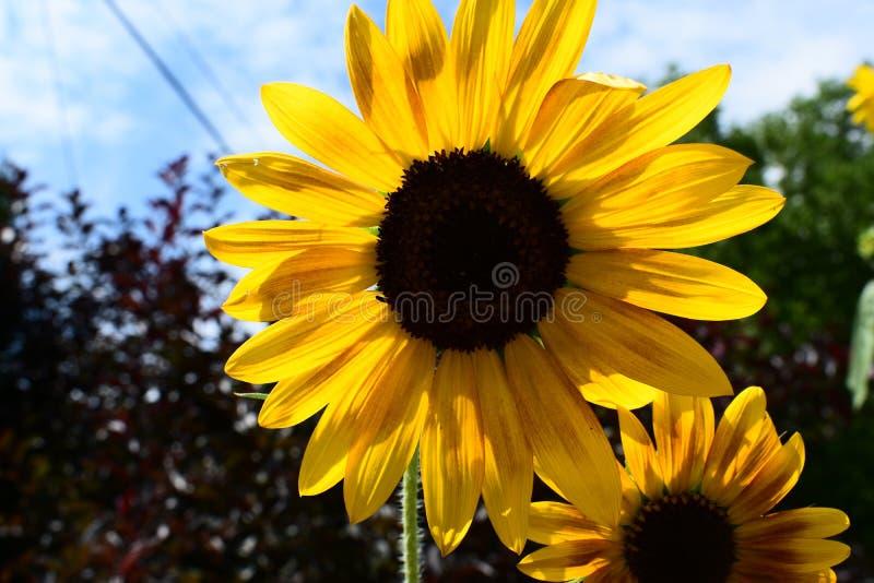 Close-up do girassol na flor completa imagens de stock