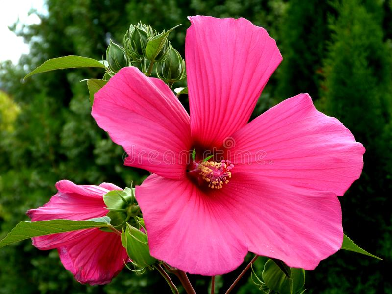 Close up do grande hibiscus havaiano cor-de-rosa do nome cor-de-rosa ou botânico de China imagem de stock