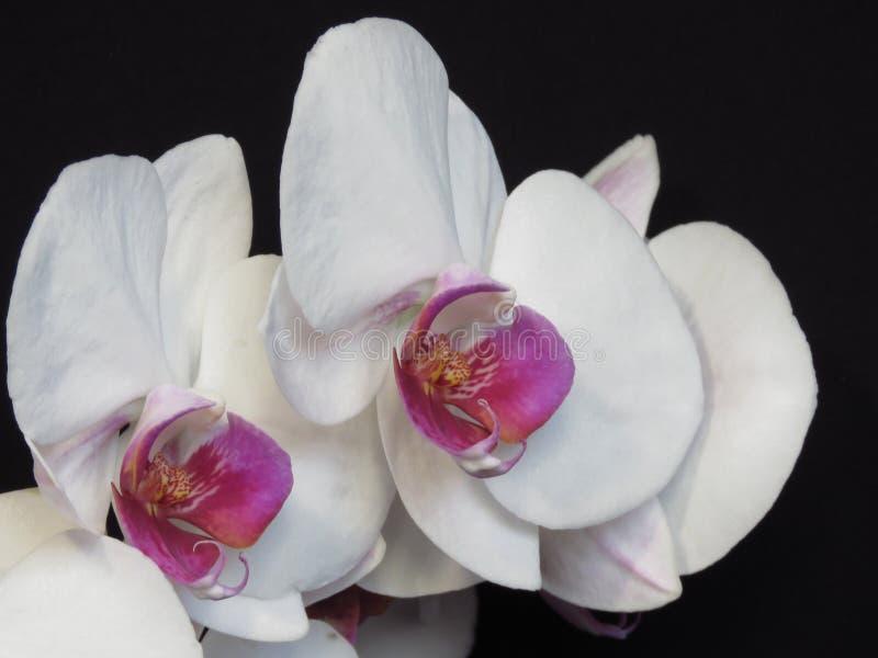 Close up do grupo cor-de-rosa branco e roxo da flor da flor da orqu?dea no fundo preto Ramalhete ? moda de floresc?ncia da orqu?d fotos de stock royalty free