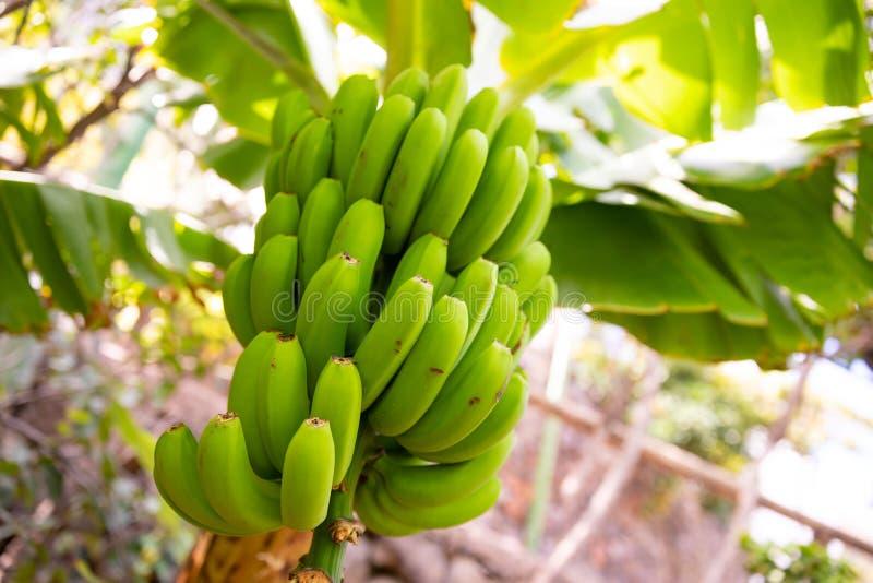 Close-up do grupo da banana verde org?nica fresca imagens de stock