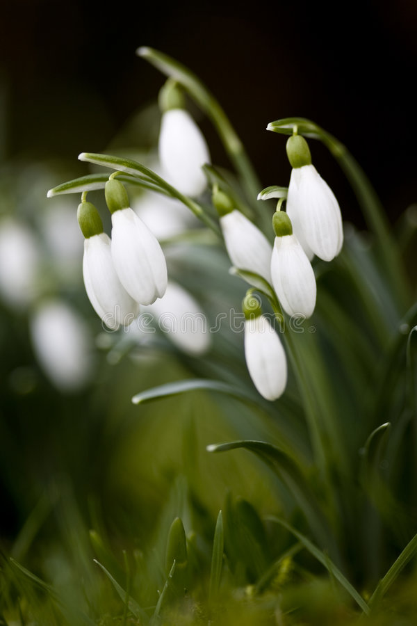 Close-up do grupo de Snowdrops foto de stock