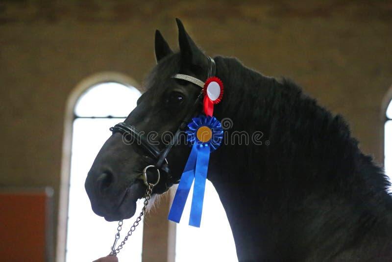 Close up do Headshot de um cavalo do frisão do puro-sangue fotografia de stock