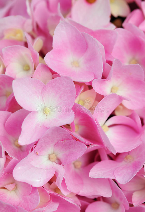 Close up do Hydrangea de Bigleaf fotografia de stock royalty free