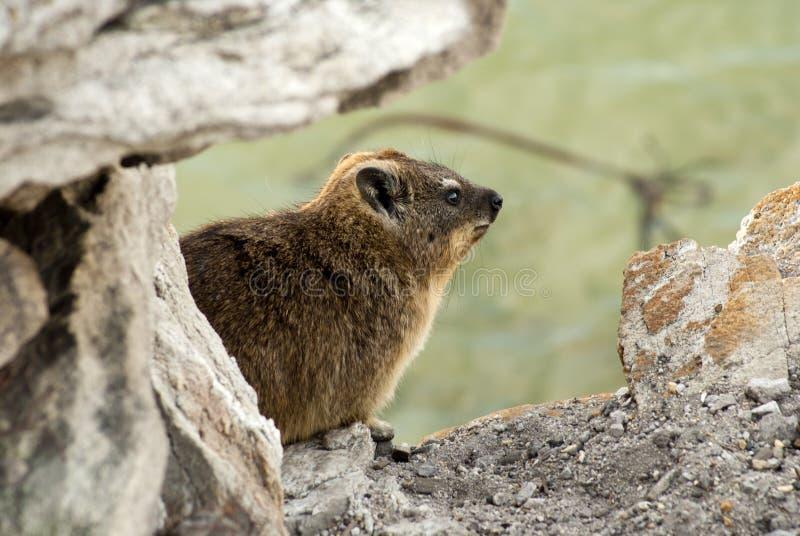 Close-up do Hyrax de rocha foto de stock