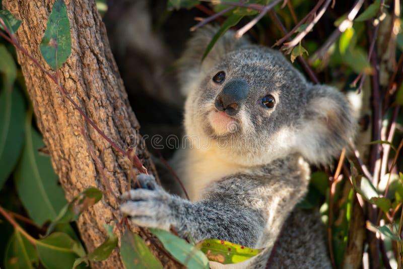 Close up do joey da coala fotos de stock