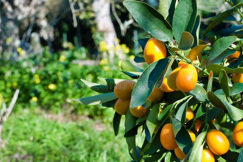 Close up do kumquat na planta fotografia de stock