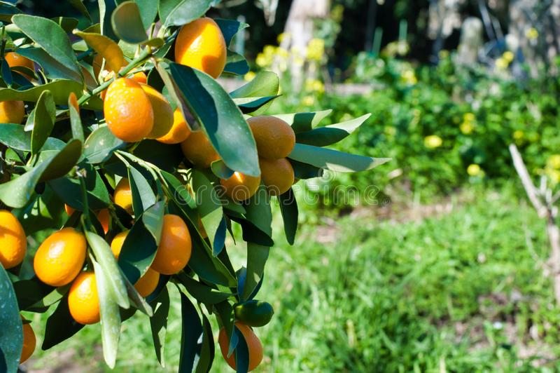 Close up do kumquat na planta fotografia de stock royalty free