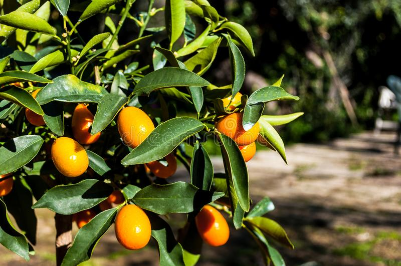Close up do kumquat na planta fotos de stock