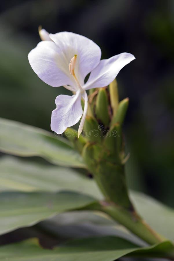 Close-up do lírio branco do gengibre fotos de stock