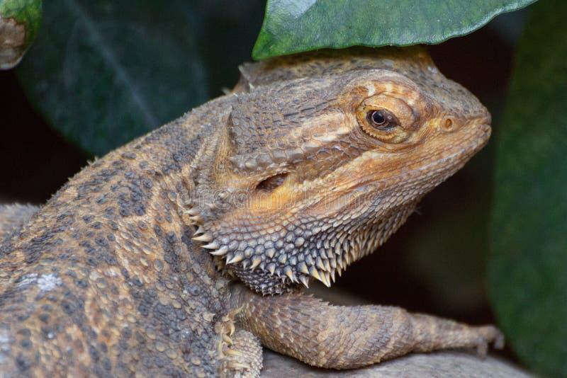 Close-up do lagarto de Bartagame imagens de stock royalty free