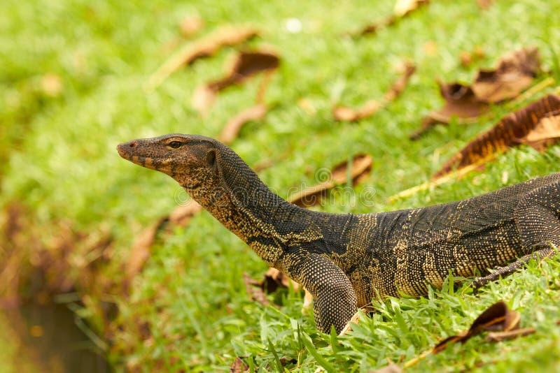 Close up do lagarto de monitor - Varanus na grama verde imagem de stock