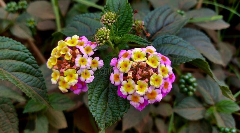 Close up do Lantana indiano com um fundo frondoso verde imagens de stock royalty free