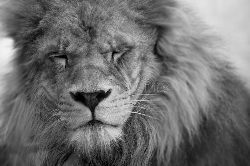 Close-up do leão com os olhos fechados fotos de stock