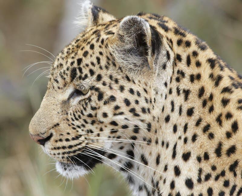 Close-up do leopardo; Pardus do Panthera; África do Sul foto de stock royalty free