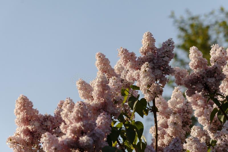 Close up do lilás roxo de florescência bonito sob o céu azul fotografia de stock royalty free