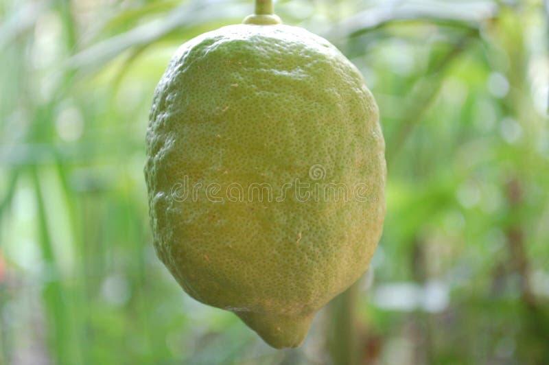 Close up do limão verde verde imagens de stock