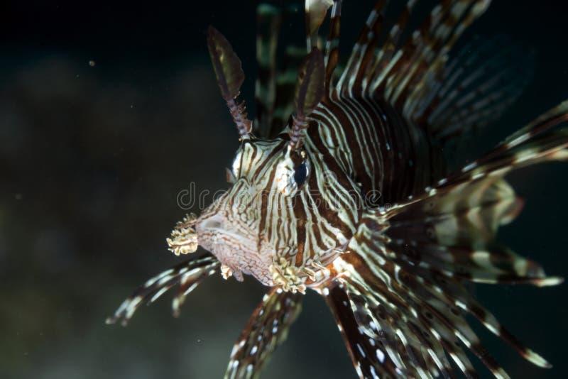 Close-up do Lionfish. imagens de stock royalty free
