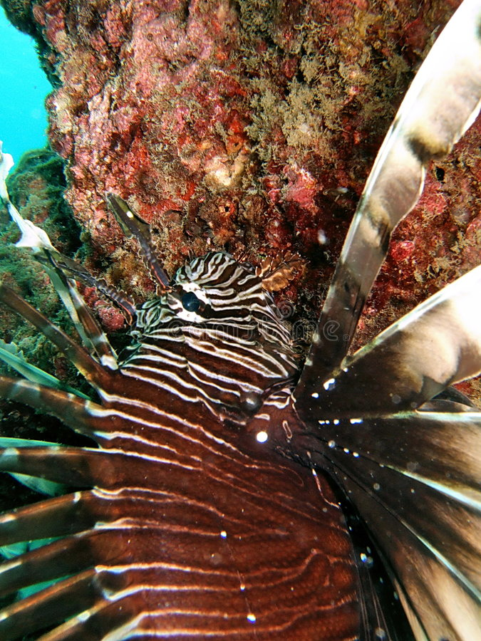 Close up do Lionfish   foto de stock royalty free