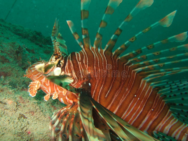 Close up do Lionfish   fotografia de stock