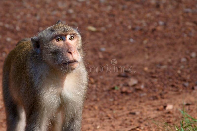 Close-up do macaco do mendigo em Angkor Wat foto de stock