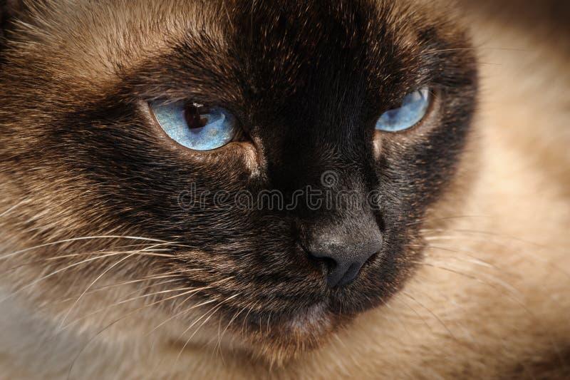 Close up do macro da cara do gato Siamese imagens de stock royalty free