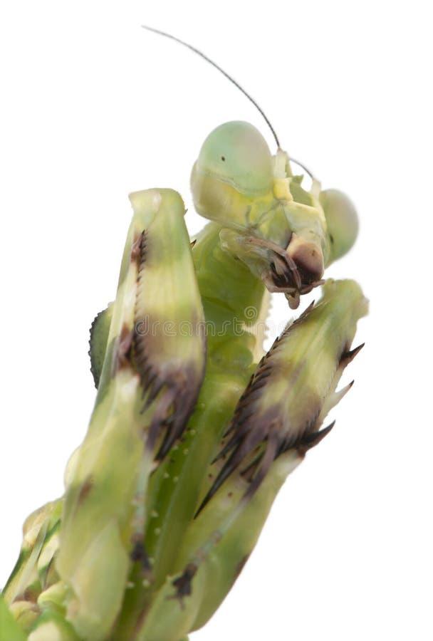 Close-up do Mantis unido fêmea da flor imagem de stock royalty free