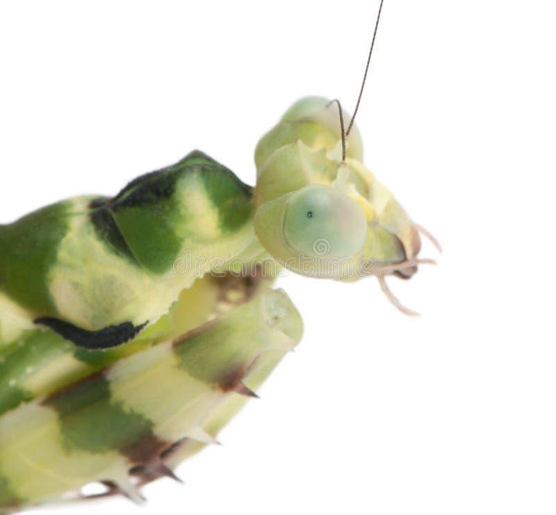 Close-up do Mantis unido fêmea da flor imagens de stock royalty free