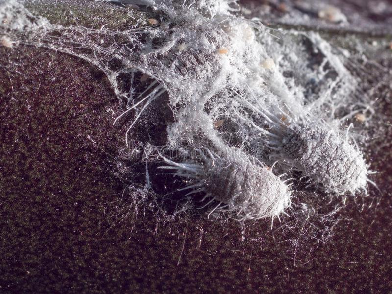 Close up do mealybug na planta ilustração do vetor