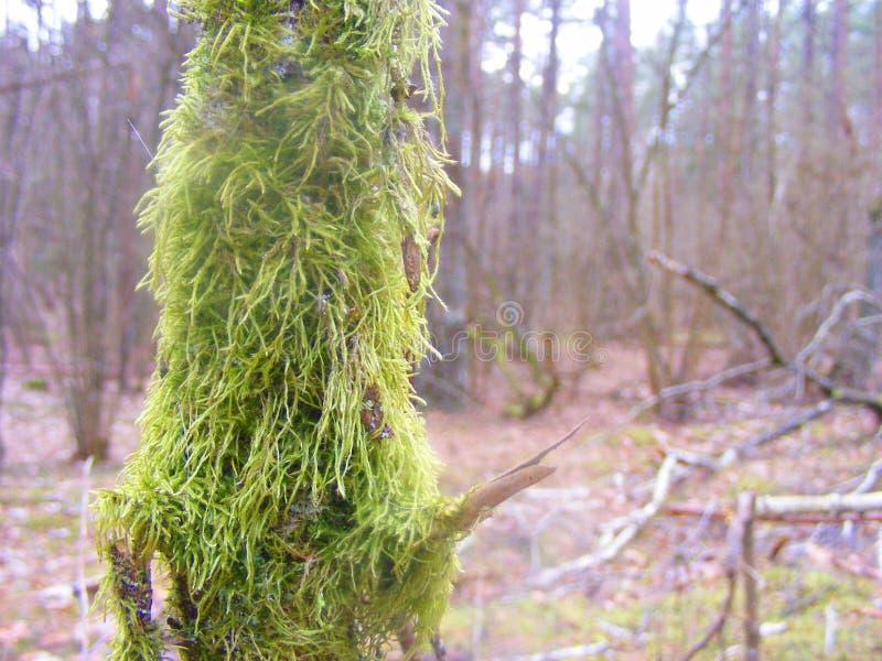 Close up do musgo verde indo que cresce em um ramo de árvore velho na floresta escura, cartão com copyspace imagem de stock