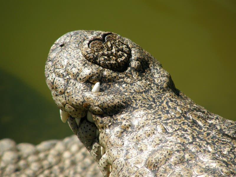 Close up do nariz do crocodilo foto de stock