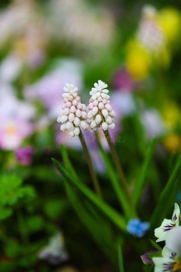 Close-up do ` do nascer do sol do rosa do ` do jacinto de uva fotos de stock