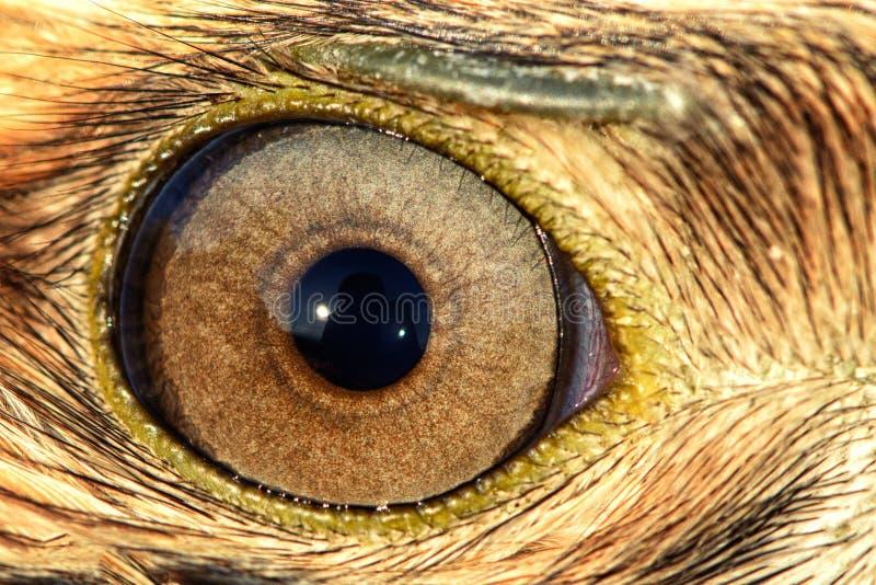 Close-up do olho de Eagle, foto macro, olho do busardo foto de stock