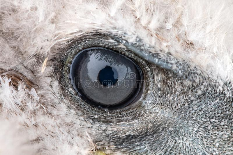 Close-up do olho de Eagle, foto macro, olho do busardo de pernas longas do pintainho, rufinus do Buteo foto de stock