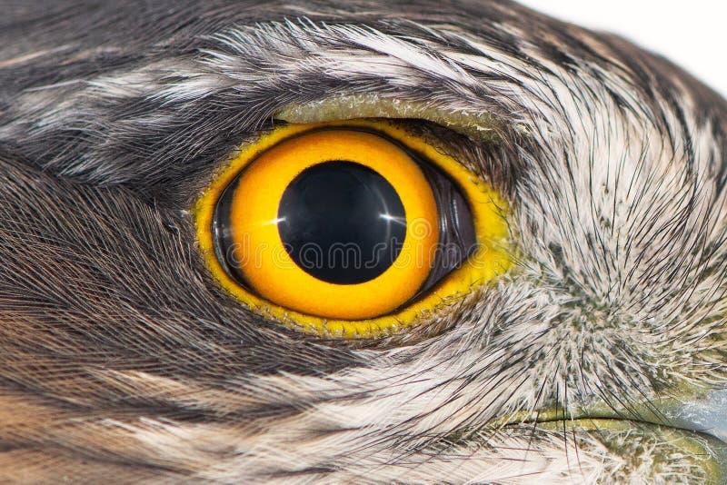 Close-up do olho do falcão, foto macro, olho do nisus euro-asiático fêmea do Accipiter de Sparrowhawk foto de stock