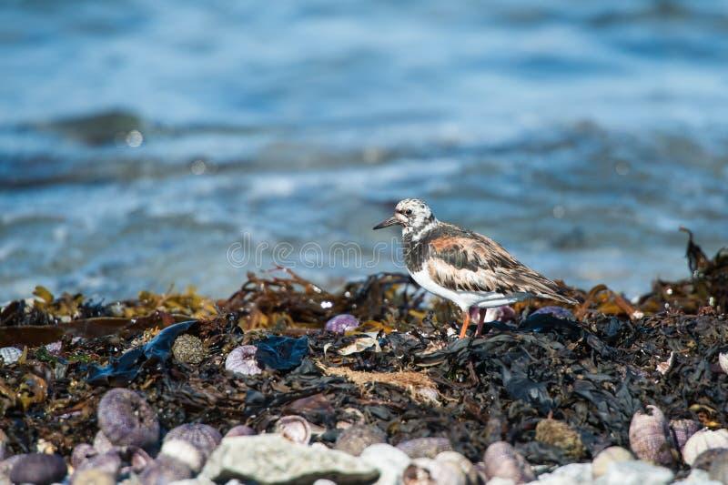 Close up do pássaro de Ruddy Turnstone fotografia de stock royalty free