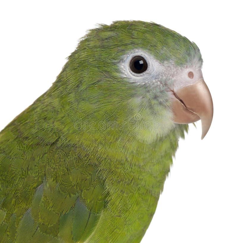 Close-up do Parakeet Branco-voado, Brotogeris imagem de stock