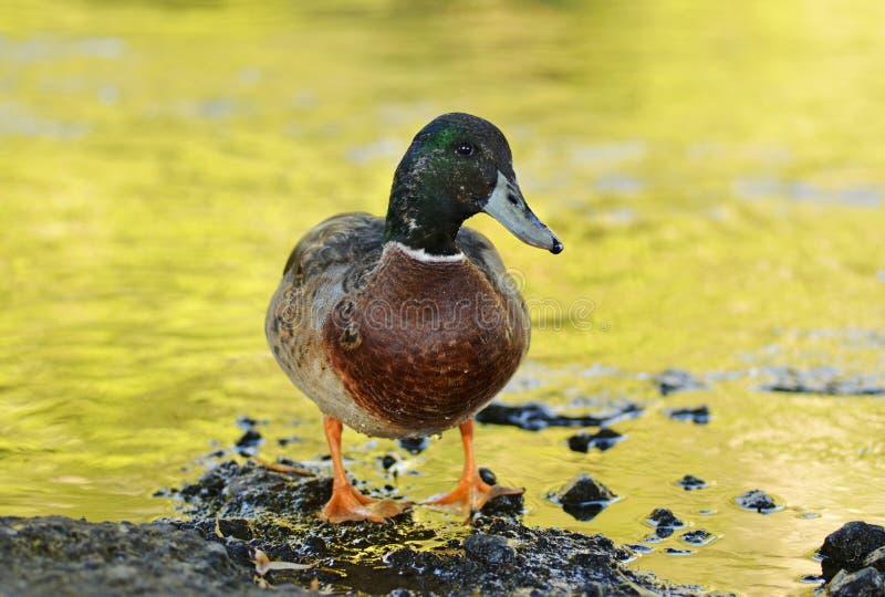 Close-up do pato de Drake Mallard que está ao lado da lagoa dourada imagem de stock